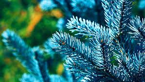 Голубая ель и правильная посадка деревьев